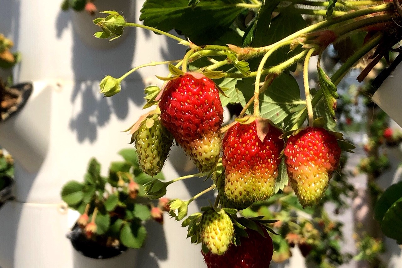 20.05.29-NU-Erdbeeren